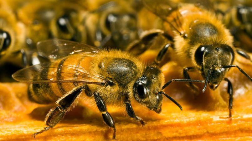 abeilles en gros plan