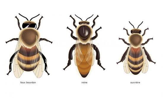 les 3 variétés d'abeilles