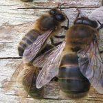 mâle dans ruche faux bourdon