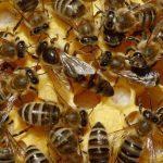 reine des abeilles d'une ruche