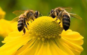 abeilles qui butinent une fleur